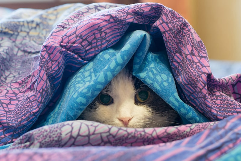 why cats become depressed _ black and white cat wrapped in a blue and purple blanket
