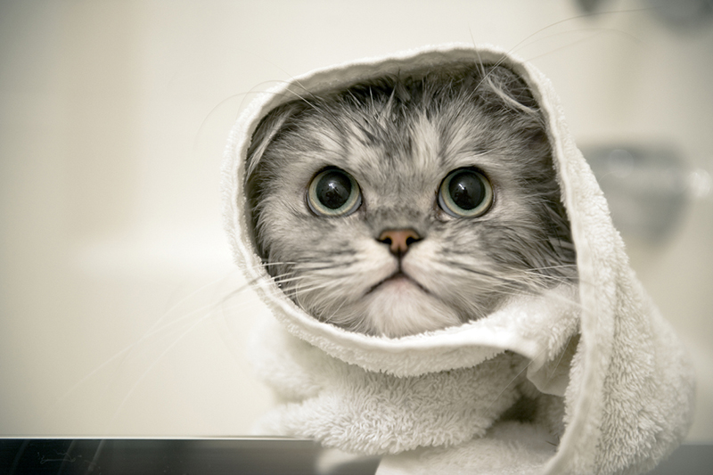 tips for controlling pet odor _ cat wrapped in a towel after a bath