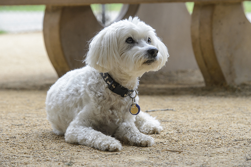 common health problems for older dogs _ Small White Dog Waiting in Dirt Covered Dog Park