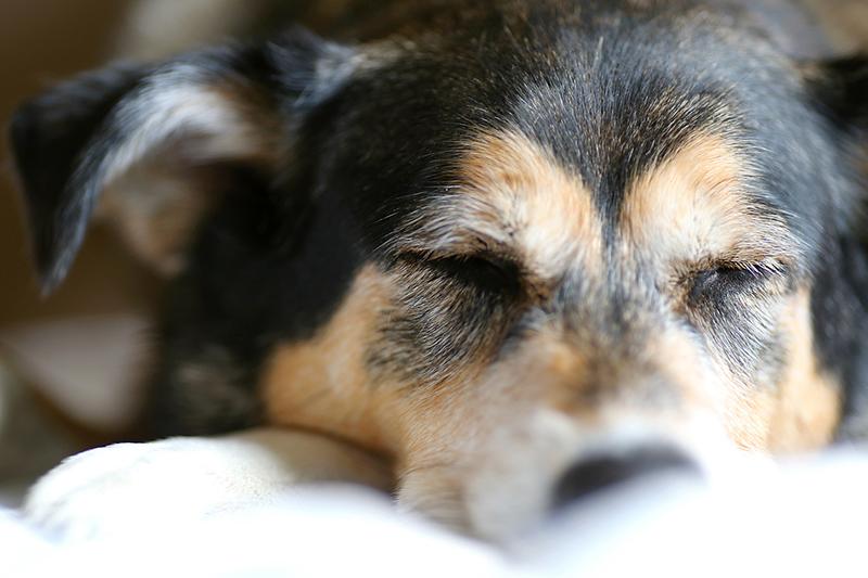 sleeping tips for older dogs _ Tired German Shepherd dog Sleeping on Bed