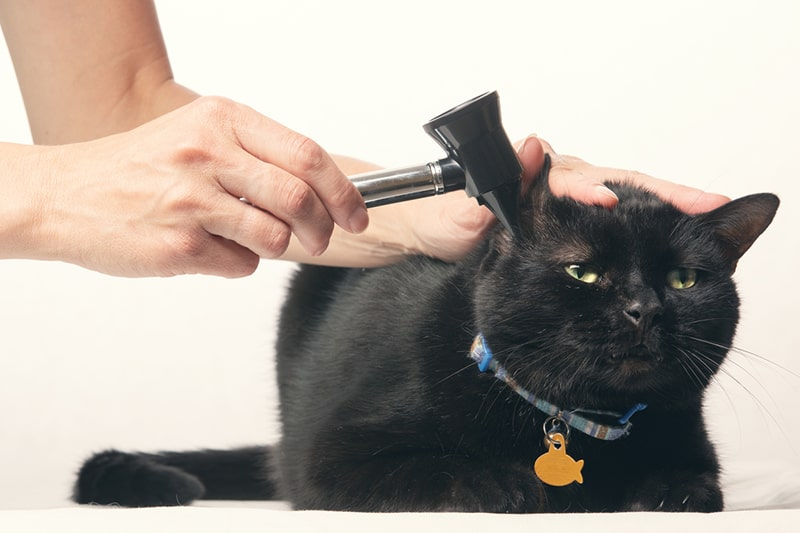 common health issues for older cats _ Black Cat Getting Ear Exam with Otoscope