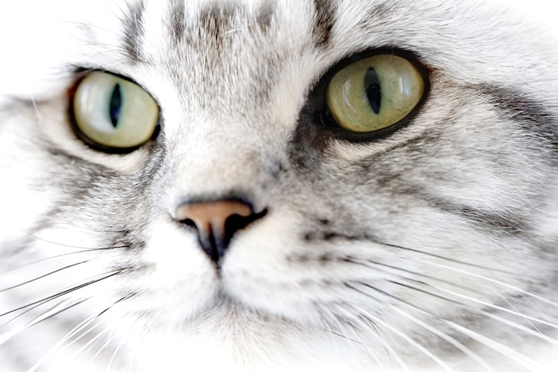 Why Is My Cat's Nose Dry _ pretty british shorthair cat portrait