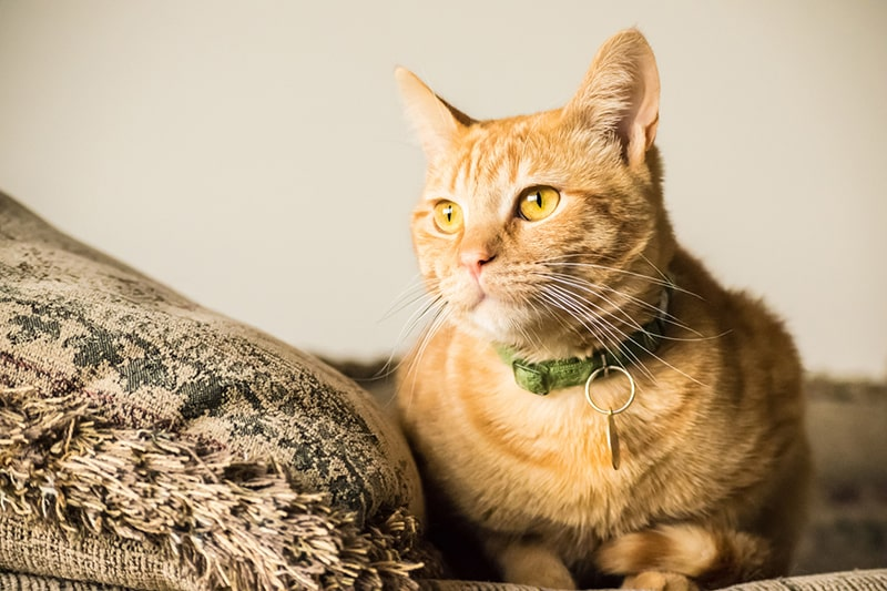 Detecting and Managing Pain in Cats _ golden cat on a couch with a pillow