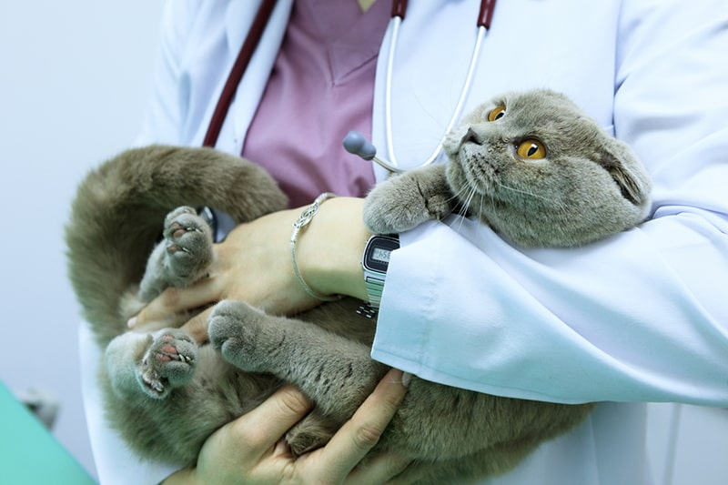 how to tell a cat is in pain _ veterinarian examining a scottish fold cat