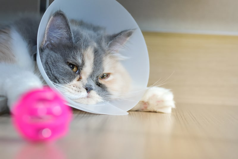 what medications to give a cat in pain _ persian cat wearing a protective collar