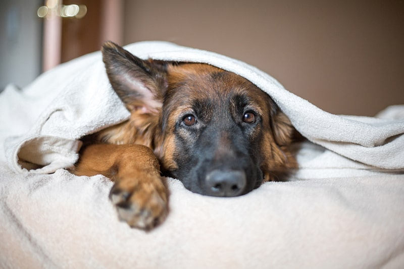 how to tell how much pain your dog is in _ Cute German Shepherd in a blanket on bed