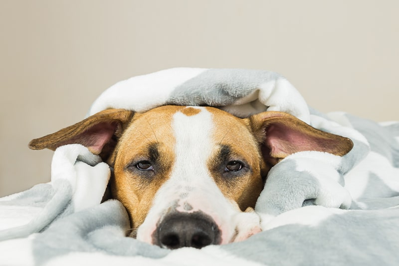 Dog Pneumonia _ Know the Causes, Signs, and Treatment _ Funny young staffordshire terrier puppy lying covered in throw blanket and falling asleep