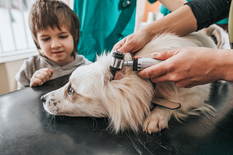 how to diagnose pneumonia in dogs _ Unrecognizable veterinarian examining child's dog at animal hospital