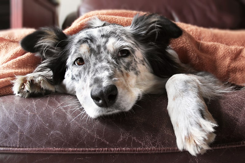 what you need to know about dogs and pneumonia _ mixed breed dog under an orange blanket
