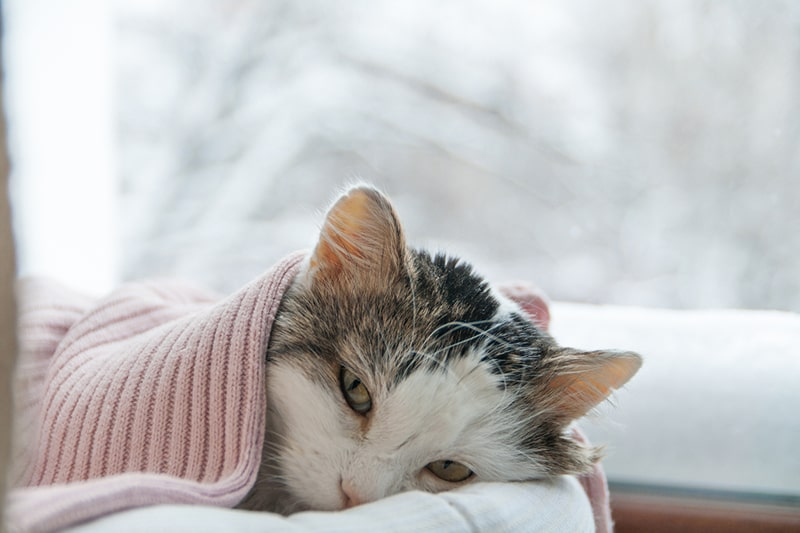 Cat Pneumonia _ Know the Causes, Signs, and Treatment _ Cat lying on a window sill with a pink blanket in winter