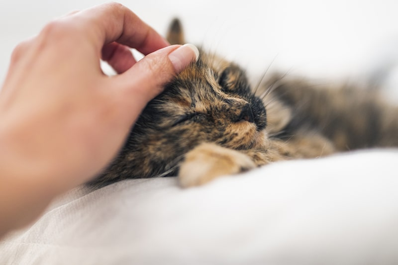 how to care for a cat with pneumonia _ tortie cat being petted on a white blanket