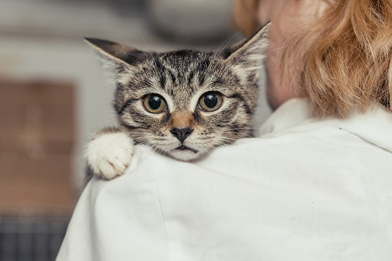 how to diagnose pneumonia in cats _ small tabby cat held by a veterinarian