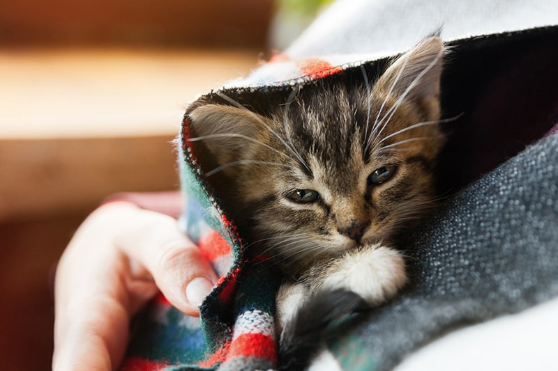 How to Keep Cats Warm and Healthy in Winter _ small tabby mixed breed kitten under gray and red wool plaid