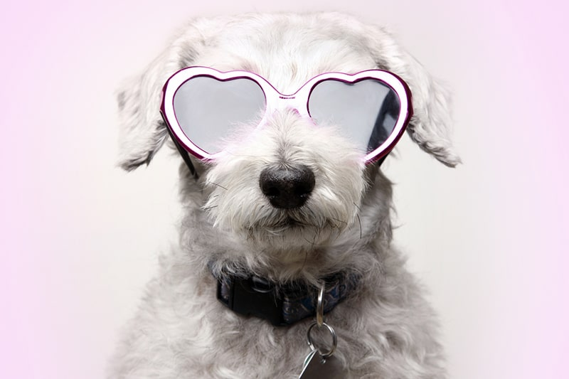 Movie Star Cats and Dogs We Want to Cuddle _ white dog with black collar and pink heart-shaped sunglasses against a pink background