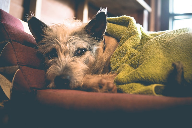 Cats, Dogs and COVID-19 _ What You Need to Know _ ASPCA Pet Health Insurance _scruffy dog under a green blanket on a maroon sofa