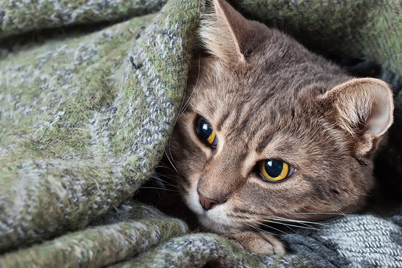 pet insurance coverage and coronavirus _ gray tabby with golde eyes cat under a green and blue blanket