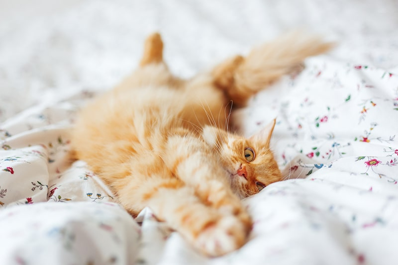 Cat Hernias _ Causes, Symptoms, and Treatment _ ASPCA Pet Insurance _ginger tabby cat stretching on a bed