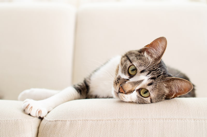 different types of cat hernias _ multicolor tabby cat on a cream sofa