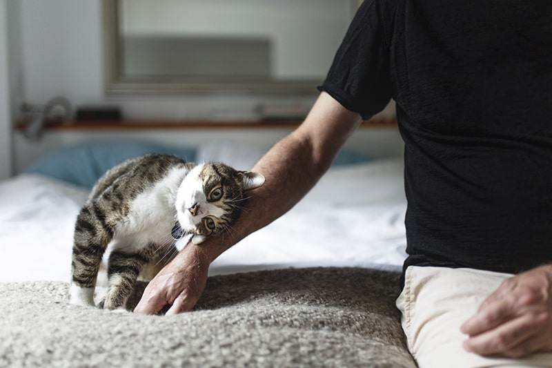 how to prevent cat hernias _ multicolor tabby cat rubs head against mans arm