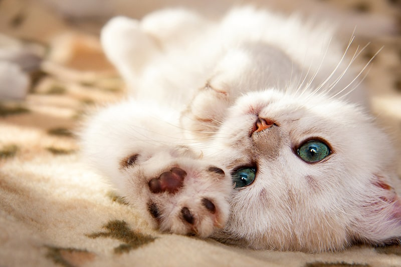 treating cat hernias _ small white British kitten lies upside down with his foot forward
