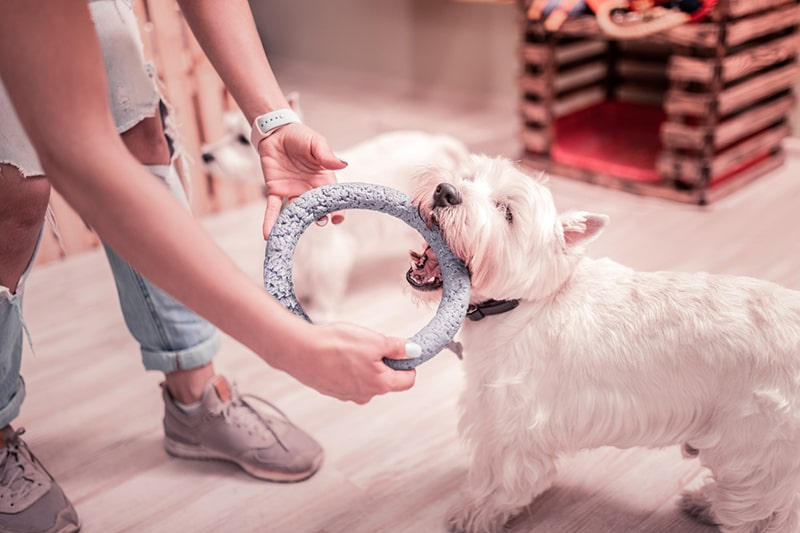 safety tips for dog enrichment activities _ westie playing with a blue ring toy