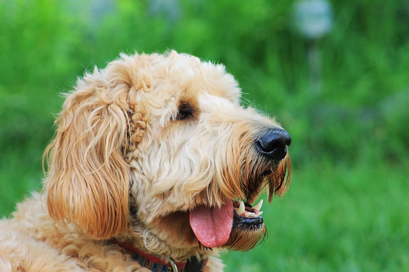 What Is a Goldendoodle? FAQs on the Breed | ASPCA Pet Health Insurance _ goldendoodle outdoors with its tongue hanging out