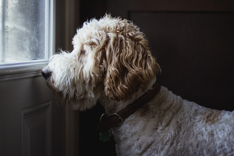 goldendoodle grooming tips _ doodle looking out the window