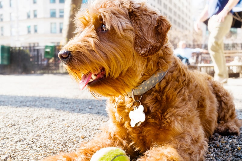 goldendoodle history _ miniature goldendoodle enjoying the day outdoors at a NYC dog park with his tennis ball