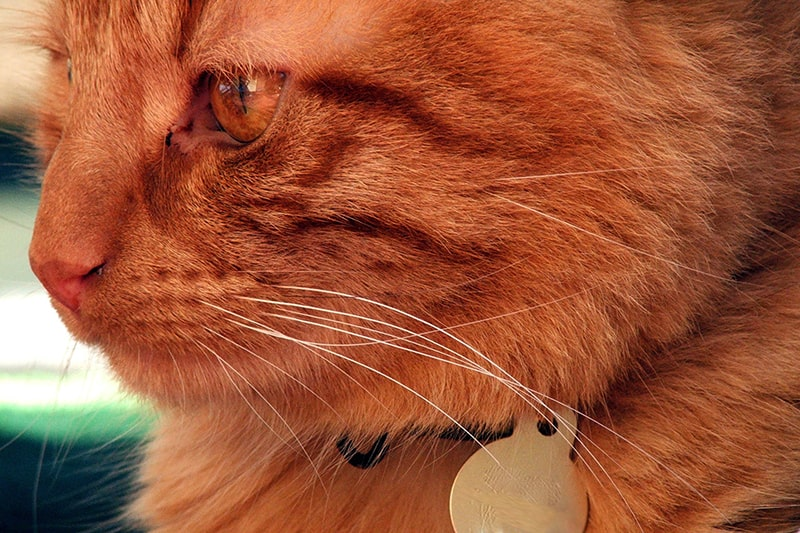 Domestic Medium Hair: Personality, Care, and More _ ASPCA Pet Health Insurance _orange tabby cat with a gold tag