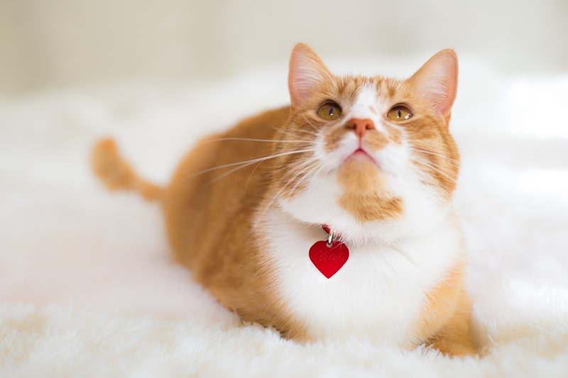 facts about domestic medium hair cats _ orange and white tabby with a red tag