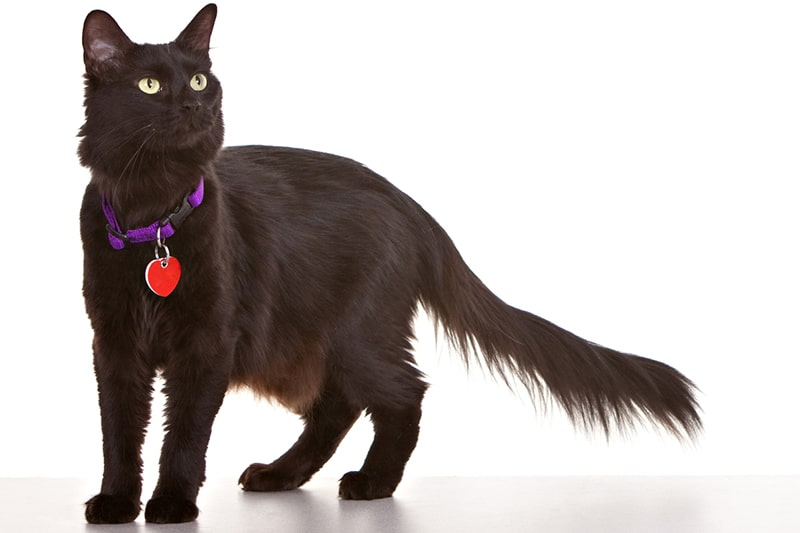 medium hair cat attributes _ black medium hair cat with a purple collar and red tag