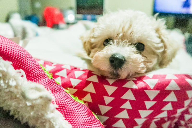 health issues for maltipoos _ Maltese Poodle puppy on a red bed with white triangles