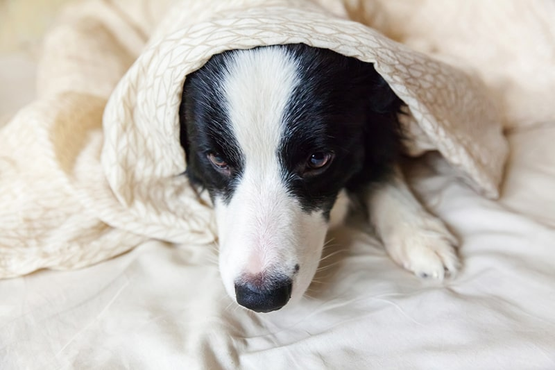 different types of dog hernias _ border collie lying under a cream colored blanket