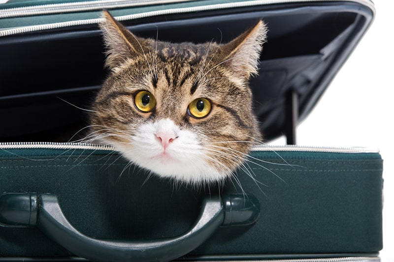 how to prepare to travel with a cat _ tabby cat resting in a green suitcase