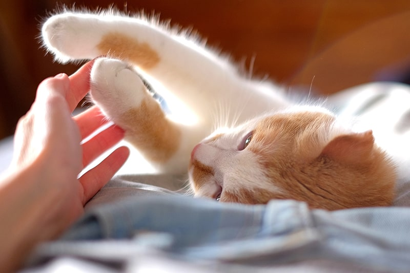 tips for taking overnight trips with cats _ orange tabby cat lying on a bed and touching a human hand