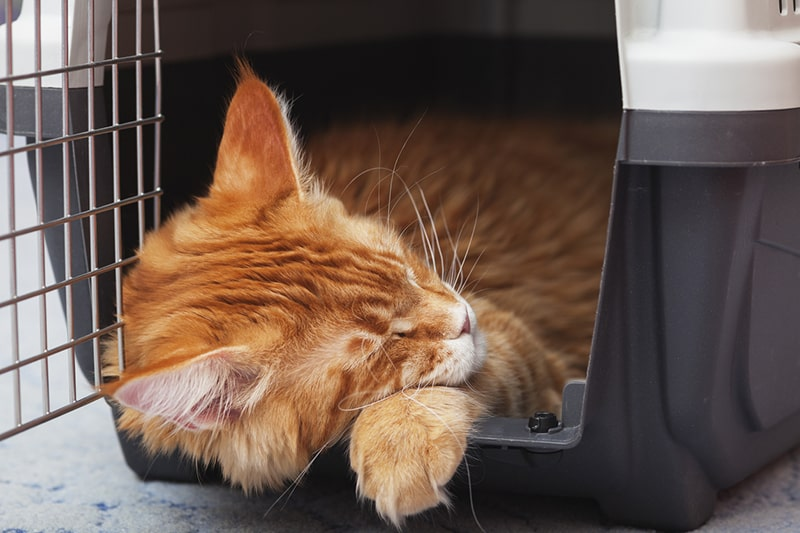 what to pack for a cat _ orange tabby sleeping in a hard plastic cat carrier