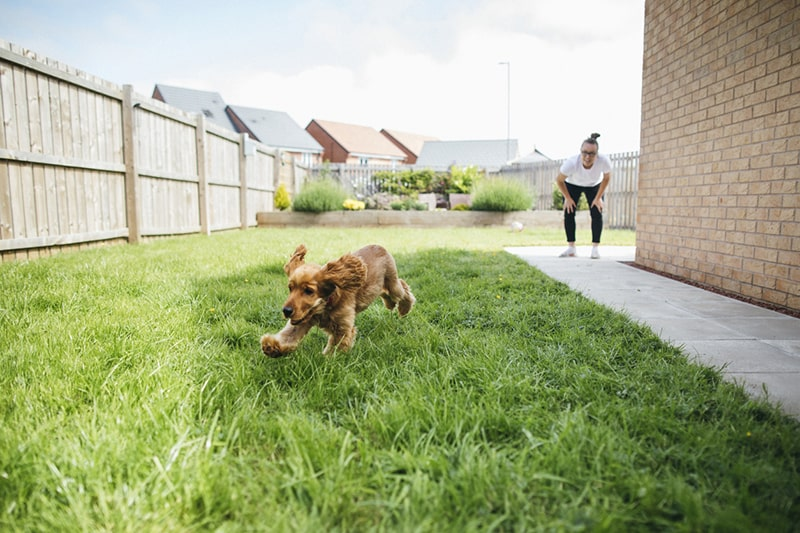 At-Home Dog and Cat Olympic Courses _ ASPCA Pet Insurance _ cocker spaniel running in a backyard