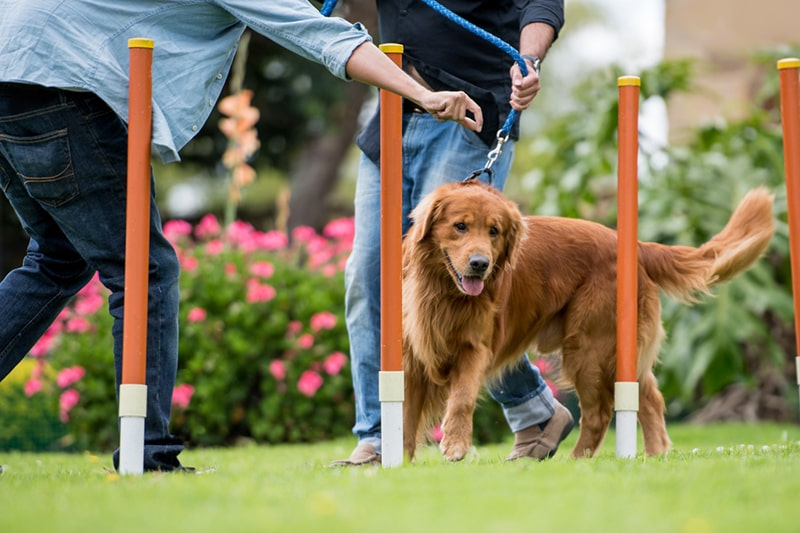 Olympic-style obstacle courses for dogs _ golden retriever on a leash zig zagging through pylons