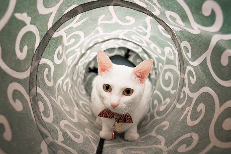 setting up an obstacle course for your pet _ white cat crawling through a toy tunnel