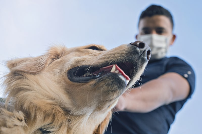 tips for going out into public with dogs post covid 19 coronavirus _ man with a face mask walking a golden retriever