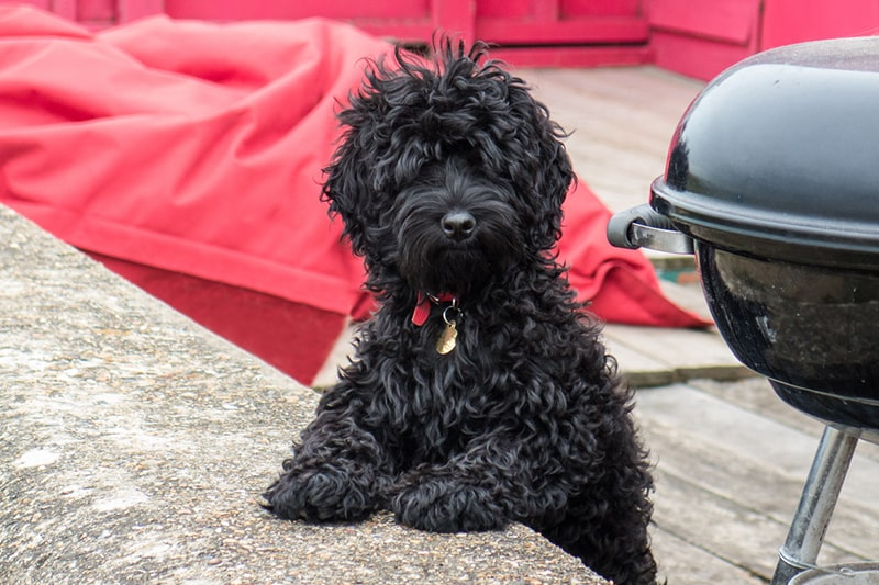 history of cockapoos _ black cockapoo with a red collar on a deck