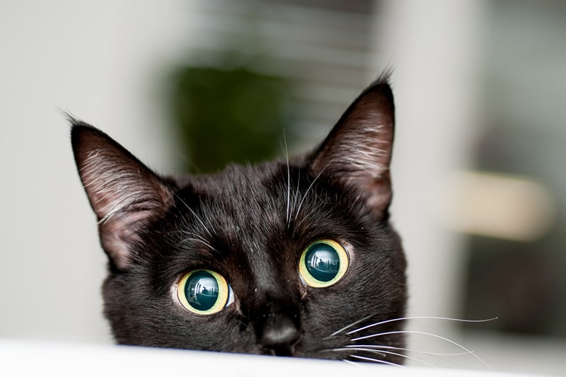 How Much Does It Cost to Have a Cat _ ASPCA Pet Insurance _ black cat with yellow eyes peeking out