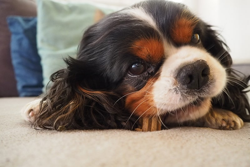 Are Cavalier King Charles Spaniels Hyper _ Breed Facts _ ASPCA Pet Health Insurance _ cavalier king Charles spaniel puppy eating a treat