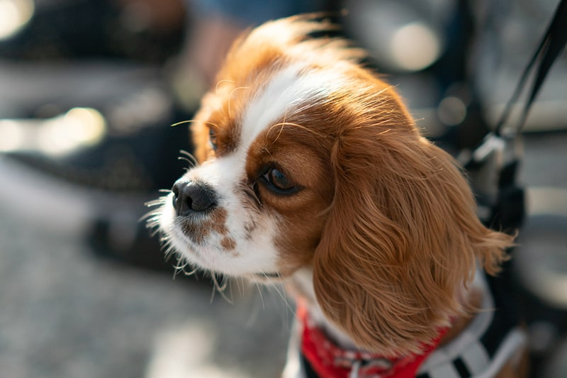 history of the cavalier king Charles spaniel _ red and white spaniel out for a walk