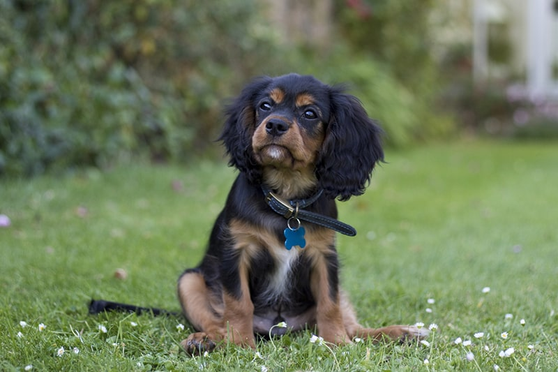 how to train a cavalier king Charles spaniel _ black and tan puppy sitting in a backyard