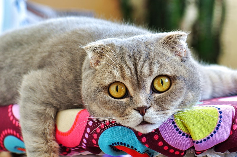 The Scottish Fold _ Temperament Shedding and Care _ ASPCA Pet Insurance _ Scottish fold cat resting on a multicolored piece of furniture