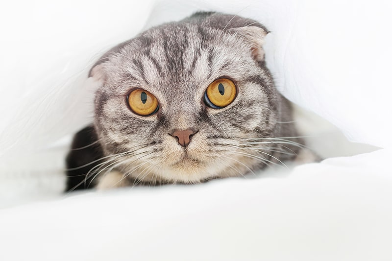 common health problems for Scottish fold cats _ gray Scottish fold cat under a white sheet