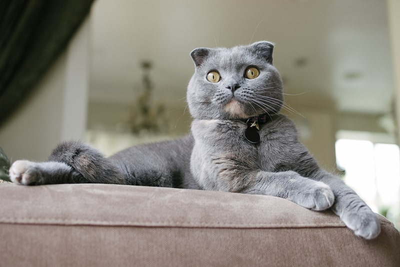 tips for grooming a Scottish fold cat _ gray Scottish fold cat resting atop a beige sofa