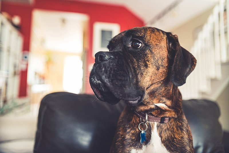 how much does it cost a year to have a dog _ boxer dog sitting on a black leather chair