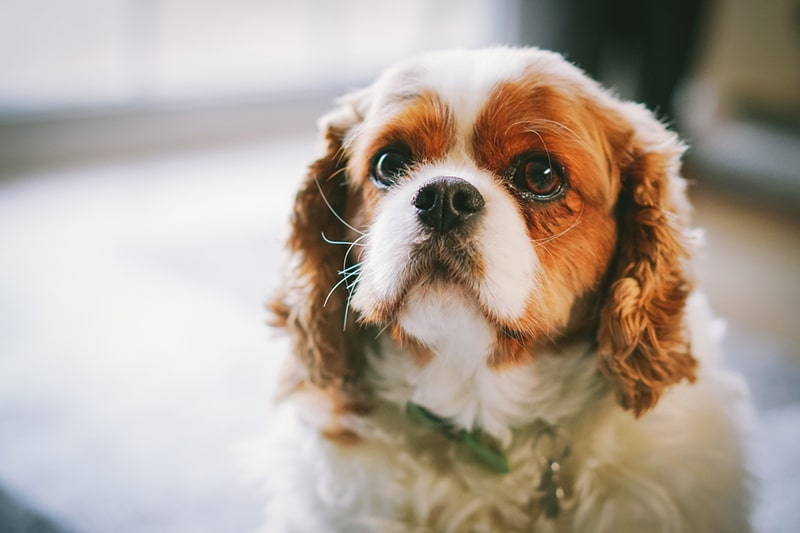 how to save on dog costs _ cavalier king Charles spaniel sitting in a house